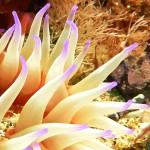 travel__0000_Epiactis australiensis Tamar Estuary Tasmania